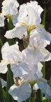 Enchanting Irises